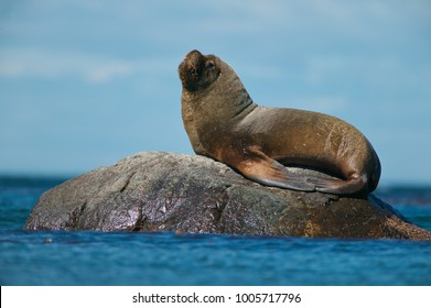 Southern Sea Lion (Otaria flavescens)
