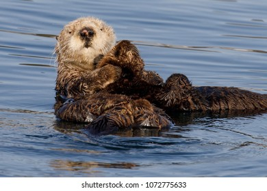 Southern Sea Otters Images, Stock Photos & Vectors | Shutterstock