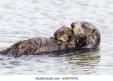 A Southern Sea Otter (Enhydra lutris nereis) cradles her pup while swimming on her back - Monterey Peninsula, California