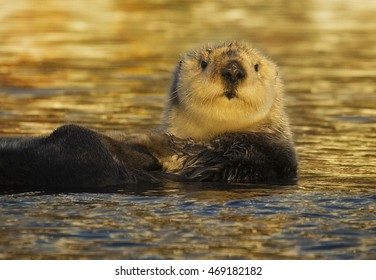 A southern sea otter floats in the water of Moss Landing, California.