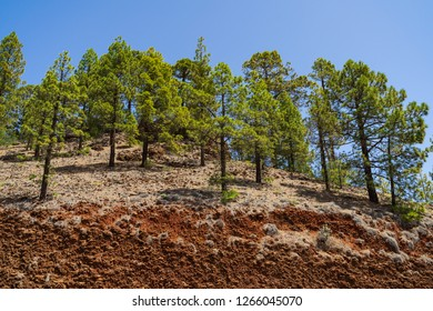 The southern slopes and lava fields of the Teide volcano. In the foreground are thickets of Canarian pine (Pinus canariensis).Tenerife. Canary Islands. Spain.