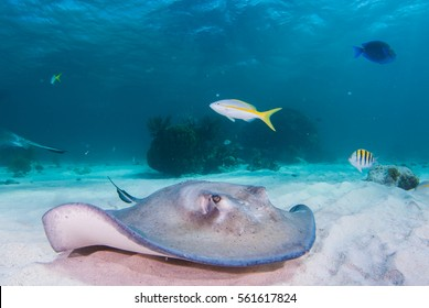 A southern stingray glides through the shallow blue waters of the north sound in Grand Cayman. The scuba diver who shot the image was at the popular underwater tourist attraction Stingray City