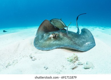 A southern stingray hunts in the sand off Eleuthera Island in The Bahamas. Bar jacks often follow them to feed on any scraps or small fish that dart away from the ray.