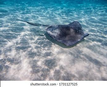 Southern stingray (Hypanus americanus), Stingray City, Grand Cayman, Cayman Islands