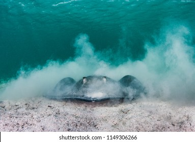 A southern stingray in sand in shallow clear water.