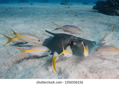 Southern Stingray searching for food with scavenging yellowtail snappers ready for a meal