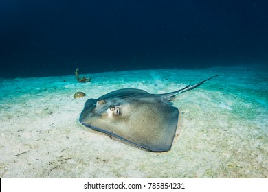 A southern stingray swimming over sand in the tropical Caribbean.