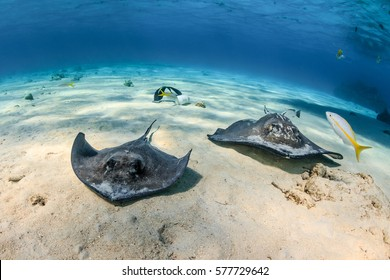 Southern Stingrays swim across a shallow sandy seabed