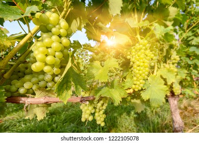 Southern Styria Austria - White wine: Grape vines in the vineyard before harvest