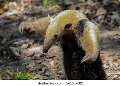 Southern tamandua on the ground in defensive attitude, Pantanal, Brazil