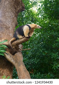 The southern tamandua on tree, also called the collared anteater or lesser anteater