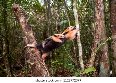 Southern tamandua  photographed in Guarapari, Espírito Santo - Southeast of Brazil. Atlantic Forest Biome. Picture made in 2007.