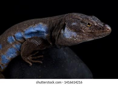 Southern Tenerife lizard (Gallotia galloti galloti)