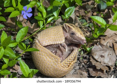 Southern three-banded armadillo (Tolypeutes matacus) in the grass