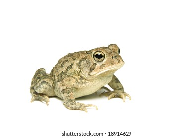 Southern Toad (Bufo terrestris) Isolated on a white background