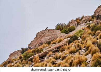 Viscacha Images Stock Photos Vectors Shutterstock