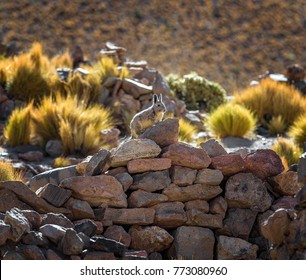 Southern viscacha (Lagidium viscacia) in the rocks among dry grass with evening light