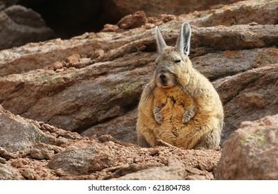 Southern Viscacha (Lagidium viscacia) in Siloli desert (bolivia)