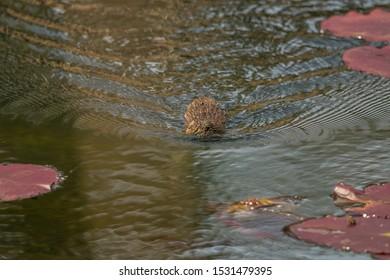 Southern Water vole Latin name: Arvicola sapidus