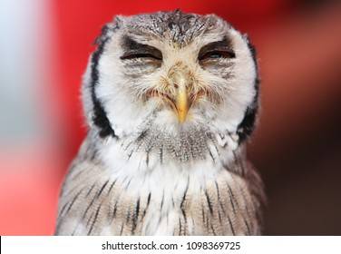 southern white faced owl with closed eyes looking very satisfied and funny in front of red background