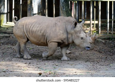 Southern White Rhinoceros or scientifically named as Ceratotherium simum simum walking within captivity in a tropical zoo.
