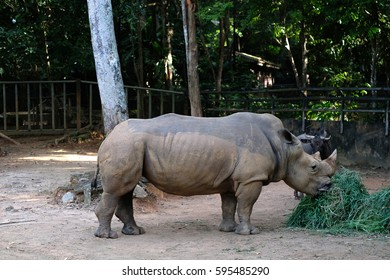 Southern White Rhinoceros or scientifically named as Ceratotherium simum simum eating grass within captivity in a tropical zoo.