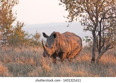 southern white rhinoceros, southern square lipped rhinoceros, ceratotherium simum simum, Kruger national park
