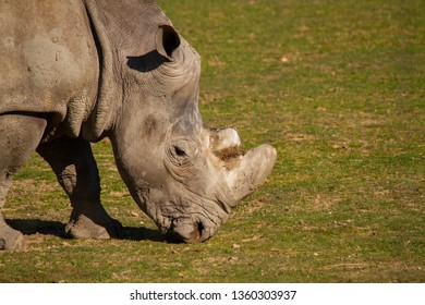 The southern white rhinoceros or southern square-lipped rhinoceros (Ceratotherium simum simum), is one of the two subspecies of the white rhinoceros (the other being the Northern white rhinoceros).