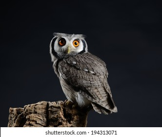 Southern White-faced owl (Ptilopsis granti), low key studio shot taken against dark background. Small owl with vivid orange eyes perched looking directly at the camera.