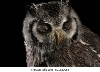 The southern white-faced owl (Ptilopsis granti) is a fairly small owl in the family Strigidae. It is native to the southern half of Africa.