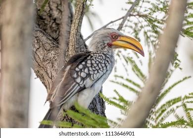 Southern yellow-billed hornbill, African Bird