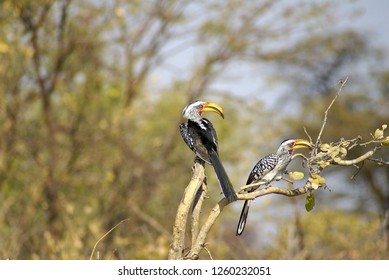 Southern yellow-billed hornbills (Tockus leucomelas) perched on a branch at a lodge in Botswana