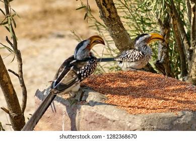 Southern yellow-billed hornbills (Tockus leucomelas) at a bird feeder at a lodge near Nata, Botswana