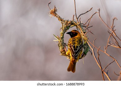 Southern-masked Weaver building a nest.  Sitting on the nest.