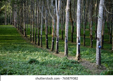 South-Sulawesi - Indonesia. Rubber plantation. One of the main export products of Indonesia is natural rubber. Endless rows of rubbertrees and perfectly maintained.