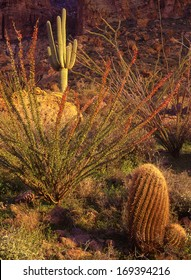 Southwest desert as winter rains bring out the red in barrel cactus and ocotillo../wet desert/Barrel cactus, ocotillo and saguaro,all soak up life sustaining rain water on a rocky mountain side.