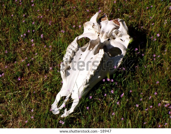 Southwest Skull