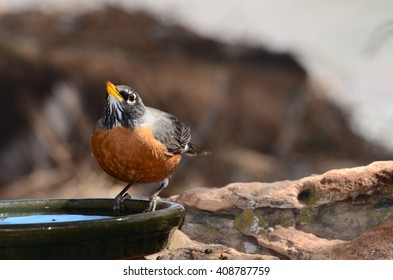Southwest USA Beautiful American Robins are gray-brown birds with warm orange underparts and dark heads Reddish orange breast and sides Female have paler head and tail than Males.