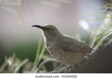 Southwest USA Beautiful Curve-billed Thrasher Bright yellow orange eyes, spots on chest and belly, Long curved bill. Dull grayish brown all over. Desert bird, it is a non-migratory species.