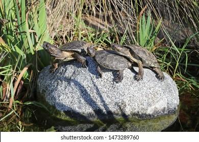 Southwestern Pond Turtle (Emys marmorata pallida)
