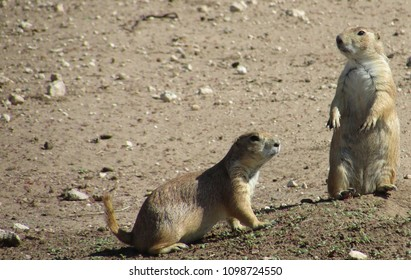Southwestern Prairie Dogs