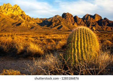 A southwestern scene picturing a barrel cactus glowing in the warm golden hour sunlight in front of the Organ Mountains.