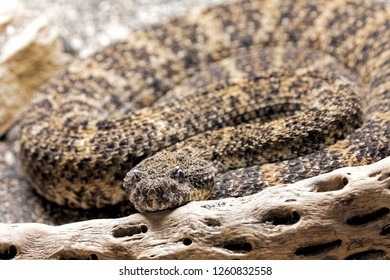 Southwestern Speckled Rattlesnake, Crotalus mitchelli pyrrhus is a venomous pit viper found in the southwestern United States and northwestern Mexico