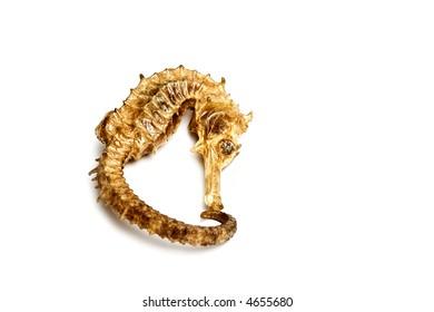 Souvenir varnish dried hippocampus (sea-horse)