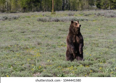 A sow grizzly bear (#399) stands and desperately surveys the meadow searching for her cub after running off an  intruding bear from her territory.