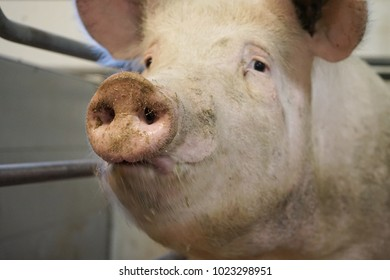 A sow in an open room in farrow section posing for photografer.