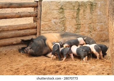 Sow with seven piglets