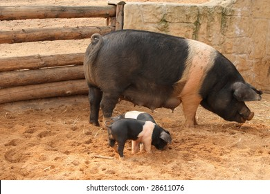 Sow with two piglets