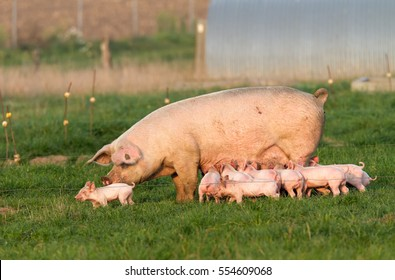 Sow and young pig in free-range