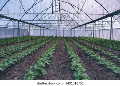 Sown cucumber in fields of Mexico